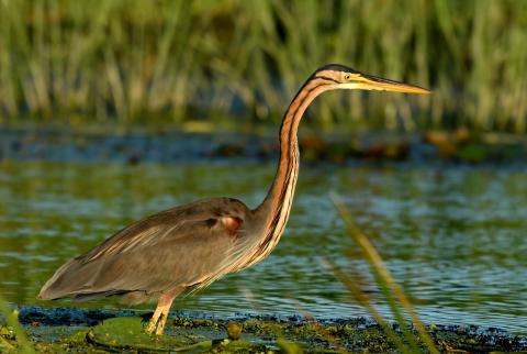 Specii de pasari din delta dunarii